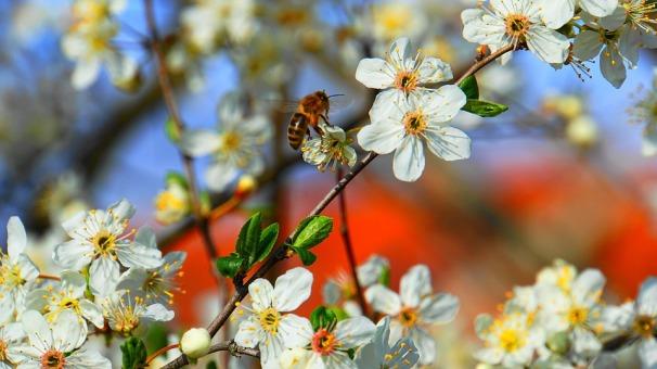 honey-bee-4088799_960_720